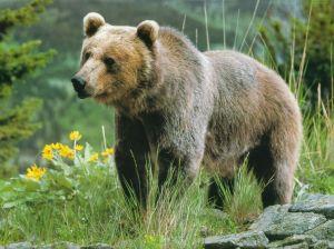 bear big strong